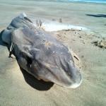 Eine toter Hai ist ein friedlicher Hai.